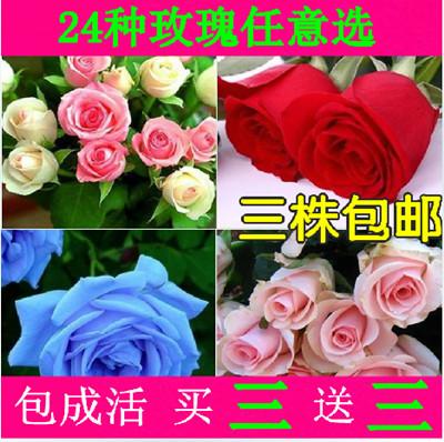 bonsai flores rosa perpetuals 5 chromophous 5(China (Mainland))