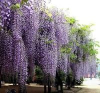 Wholesle New 2014 Hot  Selling 20pcs/bag Purple Wisteria Flower Seeds For The Garden DIY Home Garden  bonsai