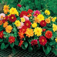 50Pcs Mini Dahlias Seeds Multi-Colored Flower Pots Planters 2014 New Bonsai Flower Seeds For DIY Home Garden