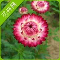 1 Pack 50 seed Strawflower Seeds