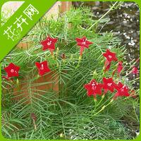 1 Packs 10 Seeds Cypress Vine Morning Glory Vine Seeds, Quamoclit Pennata Flowe
