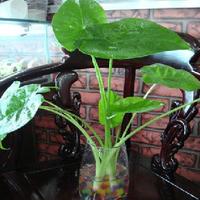 Flower seed hydroponic plant drip guanyin seeds absorb harmful gas Alocasia macrorrhizos