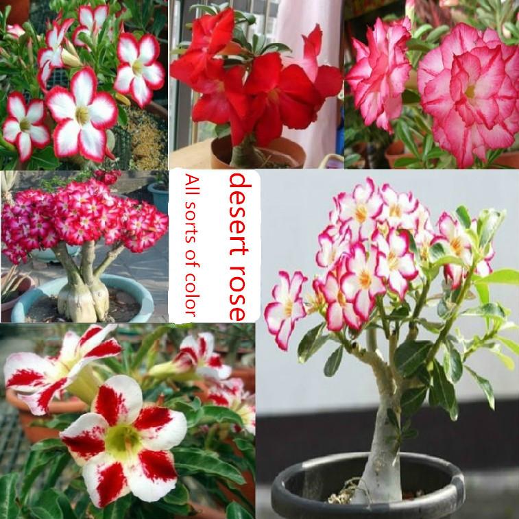 Flower pots planters Adenium obesum seeds rainbow desert rose seeds Bonsai plants Seeds for home & garden 200 seeds/bag(China (Mainland))