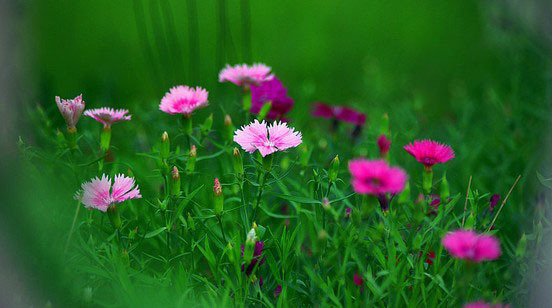 Free shipping Beautiful Lovely Garden Flowers Mixed Color Carnation Seeds(China (Mainland))