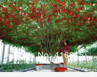 50 Pcs ITALIAN TREE TOMATO Seeds 'Trip L Crop' Seeds *Comb S/H ,Vine Tomato Climbing Tomato Tree , Plus Mysterious Gift