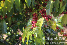Free shipping a large number of long term supply of wholesale original base of Origin Yunnan