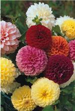 chegam novas flores importadas grã-bretanha plantar sementes dupla mista cor dália 5 seed 436 raiz perene(China (Mainland))
