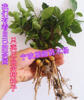 Hot selling 50pcs Chinese longjing Green Tea Tree seeds Dragon Well tea bonsai plant DIY home garden free shipping