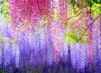 $2 off / $7 Flower Wisteria Seeds Original Package 4pcs Purplevine Seed Flower Pots Planters Home Garden Bonsai Garden Supplies