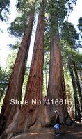 Giant Sequoia 50 Seeds - BONSAI - Sequoia Giganteum,Free shipping ,Plush Mysterious Gift