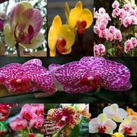 plant pots wholesale 100pcs * Butterfly Orchid flower Phalaenopsis Bonsai flower plant seeds * plants bonsai tree Free shipping
