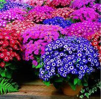 30pcs/bag Multi-Color Florists Cineraria Seeds Flower Pots Planters Purple Cineraria Bonsai Home Garden Supplies for People DIY