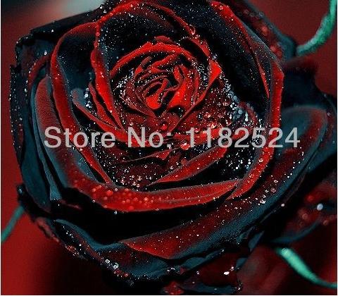 100 SEEDS - Rare TRUE BLOOD BLACK ROSE Seeds - Bonsai Flower Plant Seeds * Free Shipping(China (Mainland))
