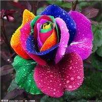 Rose seeds flower colorful rose seeds   - 100 pcs seeds