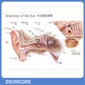 Human anatomy ear