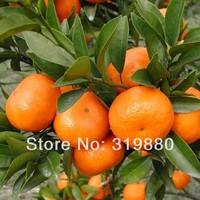 50 Pcs Mini Potted Edible Fruit Seeds Bonsai Orange Seeds China Climbing Orange Tree Seeds Free shipping