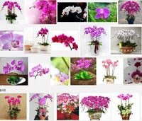 Bonsai flowers orchid seeds chromophous fluttering .   -100 pcs