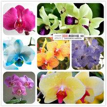 Bonsai varanda borboleta flor orquídea phalaenopsis sementes - 100 pcs sementes belo jardim(China (Mainland))