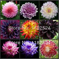100 SEEDS - Multi-Colored Dahlia Seeds bonsai fruit tree seeds * Free Shipping