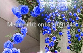 Free shipping, rare blue climbing roses seed bag 200PC, beautiful climbing plants(China (Mainland))