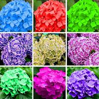 DIY Home Garden 50pcs/lot Native Hydrangea Arboescens Smooth Wild Sevenbark Flower Bush Shrub Seeds Free Shipping