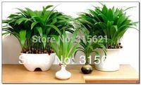 50 pcs Bonsai Livistona Chinensis  R. Br  Tree Seeds  Home DYY Plant  Seeds Free Shipping
