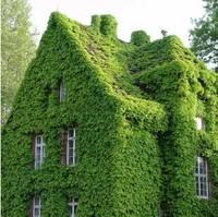 free shipping 100pcs/lot  Green Boston Ivy Seeds Climbing Warriors, Climbing Plants seed Seeds Home garden Gardening