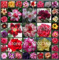 100 SEEDS - Multi-Colored Fresh Adenium Obesum Seeds - Bonsai Desert Rose Flower Plant Seeds * Free Shipping
