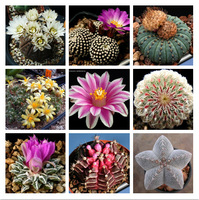 New Arrival 60 Seeds Home Garden Plant Bonsai Mixed-colors Cactus Finest Succulent Flower Seeds Free Shipping