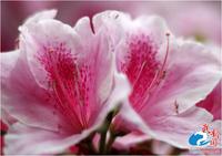 Free shipping 50pcs/lot Indian azalea Creeper Seeds DIY home garden Indian azalea
