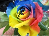 Free shipping 50pcs/lot  color flower seed color rose seed rose seeds  flower seeds Blue Red Purple Pink Black Rainbow seeds