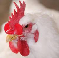 no hole Creative Chicken Eyes Glasses livestock Avoid Hen peck each other farm supplies 100pcs/lot