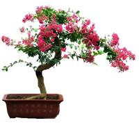2014 New 10 g/packs heirloom seeds crape myrtle *bonsai flower seeds Free Shipping