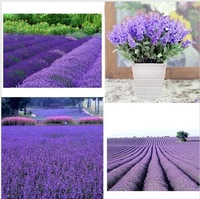New 2014  ( 500pcs /  a lot ) Lavender Seeds Beautiful and romantic Flower pots planters flower seeds garden Free Shipping