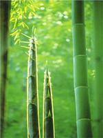 200 + giant moso bamboo seeds for DIY home garden