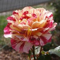 1 Professional pack, 450 seeds / pack,  GEORGE BURNS ROSE FLOWERS,  ROSE BUSH FLORIBUNDA PINK YELLOW WHITE