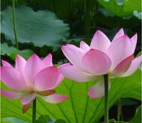 30pcs/lot factory wholesale Lotus Seeds, Nelumbo Lotus Seeds, Germination rate 95% lotus seeds, water lily seeds