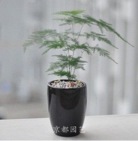 Free shipping 50pcs/lot mini bamboo indoor flower seeds Asparagus Setaceus Seeds home small bamboo seeds