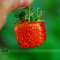 1 Professional pack, 500 seeds / pack,  Square Red Strawberry, Sweet Tasty, NON-GMO, Natural Ones