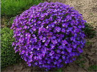 Free Shipping 1 Packs 40 Seeds Violet Queen Flower Seeds