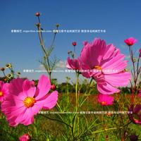050604 seeds flower pots planters garden sementes fruit bonsai tree home vegetables rainbow decorative Chrysanthemum 1200pieces
