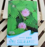 1 Pack 30 Seed Bashfulgrass Seeds Foliage Mimosa pudica Sensitive Free shipping