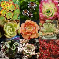 Diy Fresh Rare Succulent Plant Seeds 20cSeeds Home Rock Garden AEONIUM Mix Seeds Free Shipping