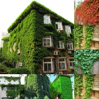 Good Quality Free Shipping  Creeper Seeds Boston Ivy Seeds Climber Grass Seed Garden Supplies 500 PCS