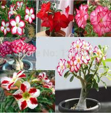 Taxa de germinação de 95%, o interior de vasos de plantas , pétalas sementes Desert Rose Desert Rose Pedra, 5pcs(China (Mainland))