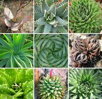 Aloe Mix Seeds 20pcs Bonsai  Succulent Plants Free Shipping