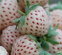 The rare white strawberry seeds potted Four Seasons sowing 20 packaging free shipping
