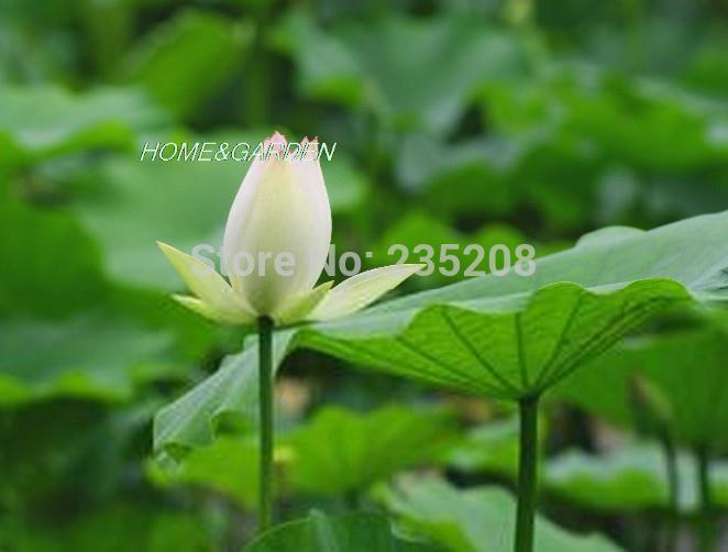 plantas de jardim lista:sementes de flores lindo plantas aquáticas DIY casa jardim plantas