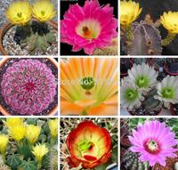 Cactus* Echinocereus mix Seeds 20pcs Bonsai Table Succulent Plants garden supplies Free Shipping