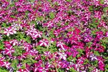 cheap petunias flower